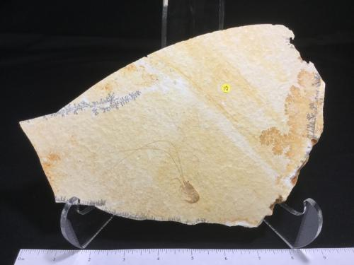 Dinosaur Fossils For Sale | Fossil Avenue
