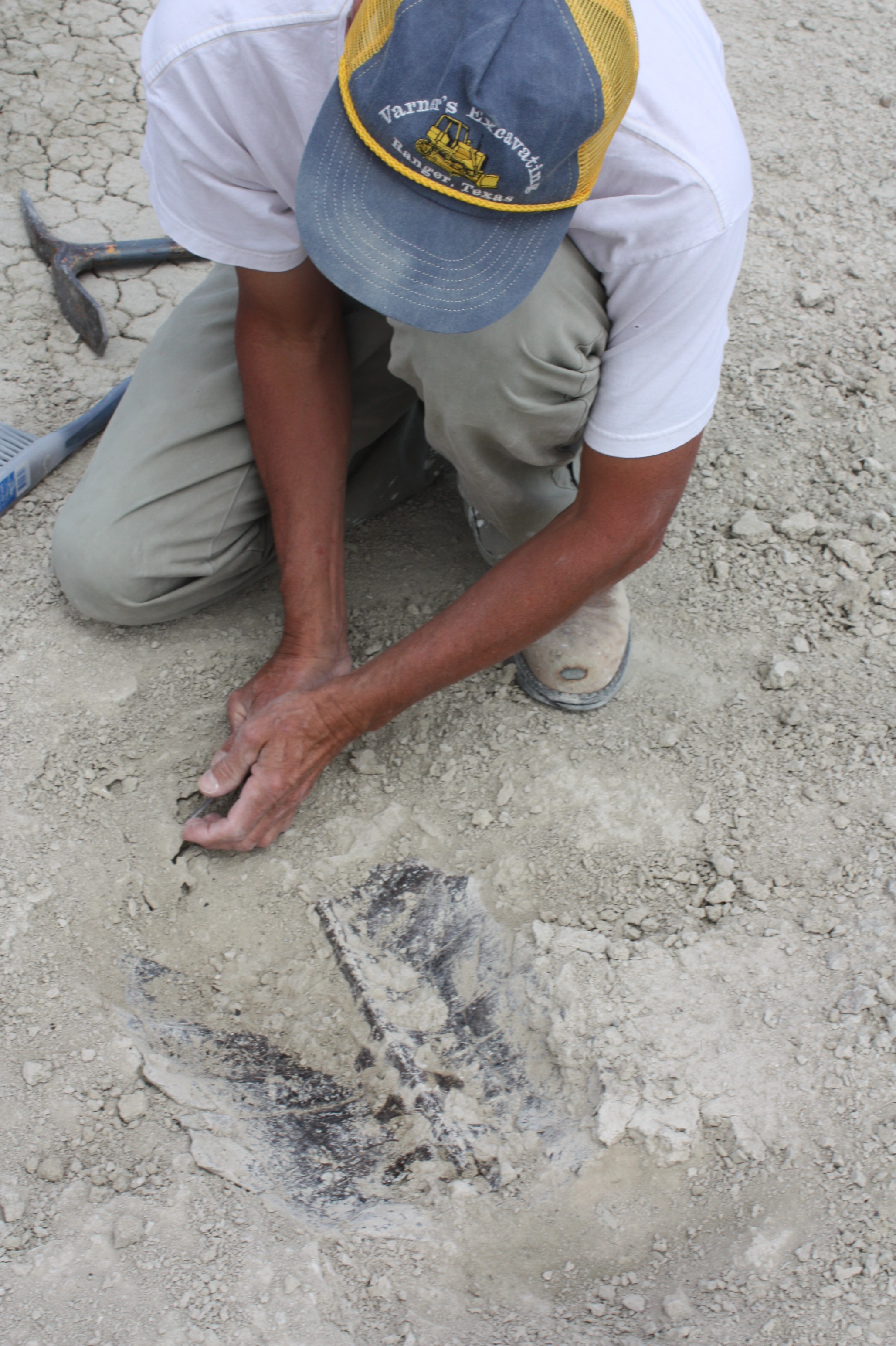Collecting fossil tortoise carapace